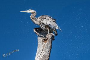 Great Blue Heron on Grand Lake, Oklahoma