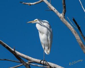 White Egret on Grand Lake, OK