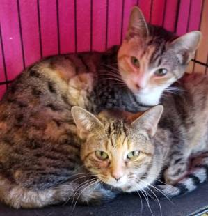 """Cat Couple"" from Second Chance Pet Rescue Brings Twice the Love into your Home"